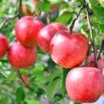 アンビリバボ[りんご農家はどこ]?落ちないりんごの会社や通販方法も!